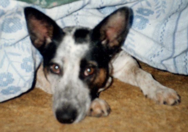 Scruffy Felt Safe Under the Bed. As an older dog, her safety place was under the kitchen table.